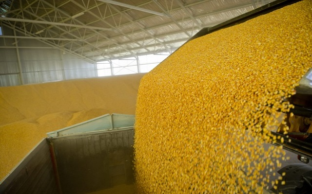 100 milliárd forintos kárt okozhat az aszály a kukoricában