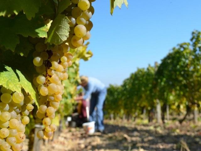 4,1 millió mázsa szőlőtermés várható idén